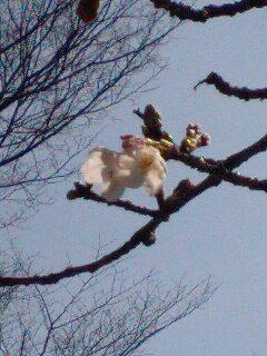 ♪春が来て桜咲く♪