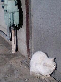 出待ちの白猫ちゃん