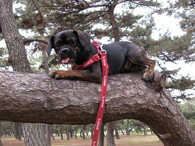 松の木の上の犬1